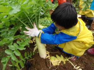4歳の男の子。教えてもらったとおりに大根を引っこ抜くために、葉っぱをまとめてつかもうとがんばっています。