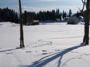 雪原に広がる、たくさんの足あと。何の動物の足あとでしょうか。