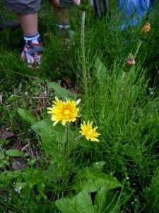 エゾタンポポ。つぼみを見ると、花のつけねにあるガクが花びらなどと同じように上に向かっています。セイヨウタンポポはこのガクが下向きに反り返っています。