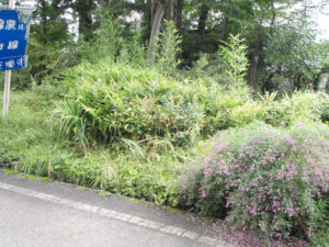1メートルより少し高いくらいの草がたくさん繁っている場所。この中にミョウガがあります。