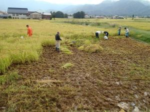 大量の泥が入った田んぼの稲を刈るボラティアと地元農家のみなさん