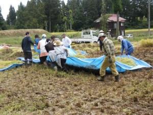 刈り取った稲は、こうして力を合わせて引っ張って運びました。