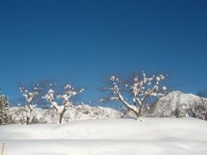 お墓の周りの桜の木と積もった雪と青い空のコントラストがさわやかでした。