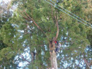 電線にあたるようになったからと太めの枝も切られていました。70歳代の家主が子どもの頃からあったという大きな木でした。