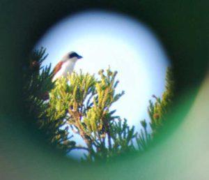 早朝バードウォッチングで、もっとも絶滅が心配されている「絶滅危惧1A」に分類されるチゴモズを確認。