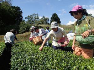 青空のもと、広々とした茶畑で、若い葉を摘む。小さな芽(芯)とその下の2枚の若葉を摘む「一芯二葉」が原則。