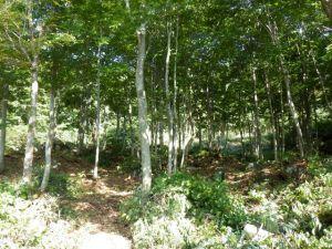 ブナ林の間伐作業後のようす。ブナの木々間に空間ができ、気持ち良い森になりました