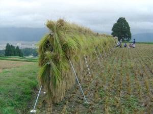 棚田で行われた手作業での稲刈りと、天日干し。都会の高校生が体験にやってきたが、大半は地元のみなさんのお仕事だった。