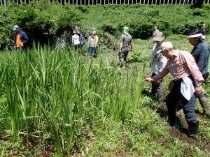 大きくなったショウブの群落。カヤなどを刈る保全活動で群落が大きくなった。