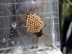 コオイムシ。名前のとおり子ども(卵)を背中におぶっている。