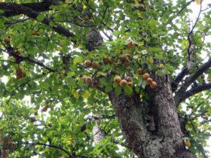 昔からあるナシの木。他の何カ所かにもナシの木があり、その場所ごとに味が違ったと、お年寄りから教わりました。当時の子どもたちは、おいしい木のところに先を争ってとりに行ったそうです。