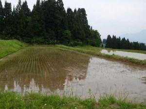 田植えから4週間近くたったのに、田植え直後とほとんどみかけが変わらないイロハ田んぼ。