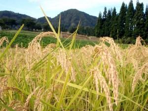 コメが実り、垂れ下がった稲穂。写真の奥に見えるのは、一足先に稲刈りを終えたとなりの田んぼの「はざ」です。