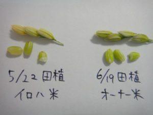1カ月田植えが違う稲の穂との比較です。5月に田植えをしたイロハ米は、モミの中がふくらみ固くなっています。6月に田植えをしたほうのモミはまだ平べったく、爪を立てると簡単に割れます。