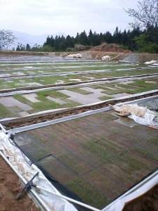 そしてこちらが今月2日の同じ田んぼの様子。苗箱に蒔かれた籾がプールの中で芽を出しています。
