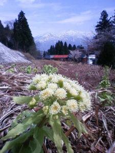 花が咲いたフキノトウ(4月21日撮影)。