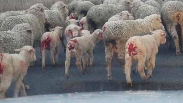 ovejas, lana, sufrimiento animal
