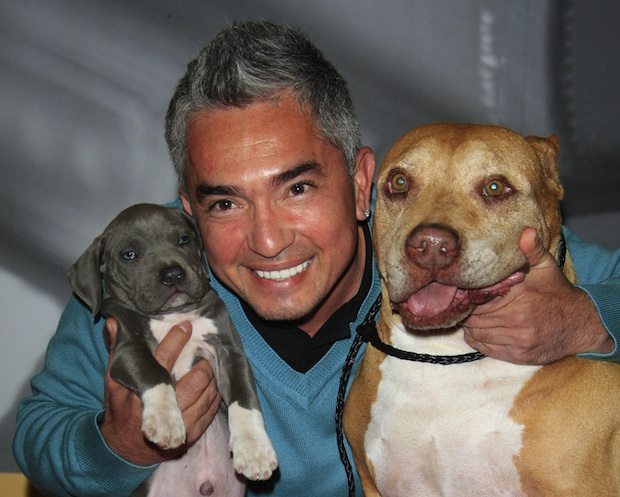 Cesar Millan uses pit bulls in his dog training demonstrations.