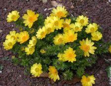Adonis vernal en flor