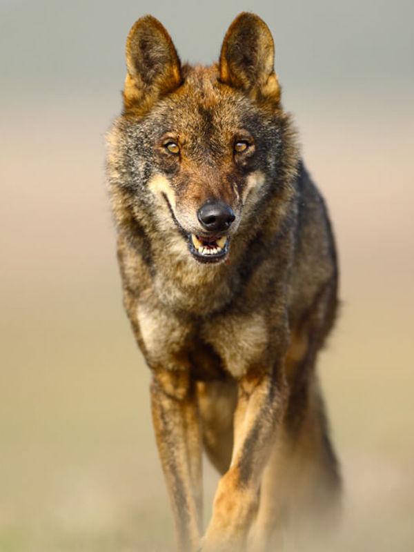 La protección total del lobo y su 'letra pequeña'