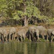 Elephants-Drinking-2-small