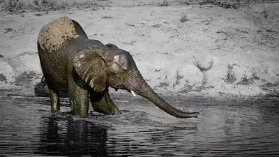 Elephants-Drinking-6-small