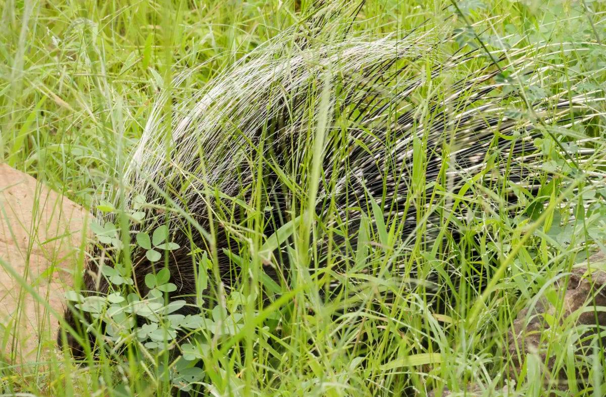 Makuleke_Porcupine_Cara-Pring-cropped