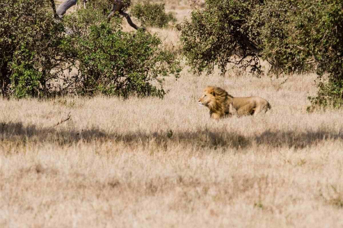 lion-1