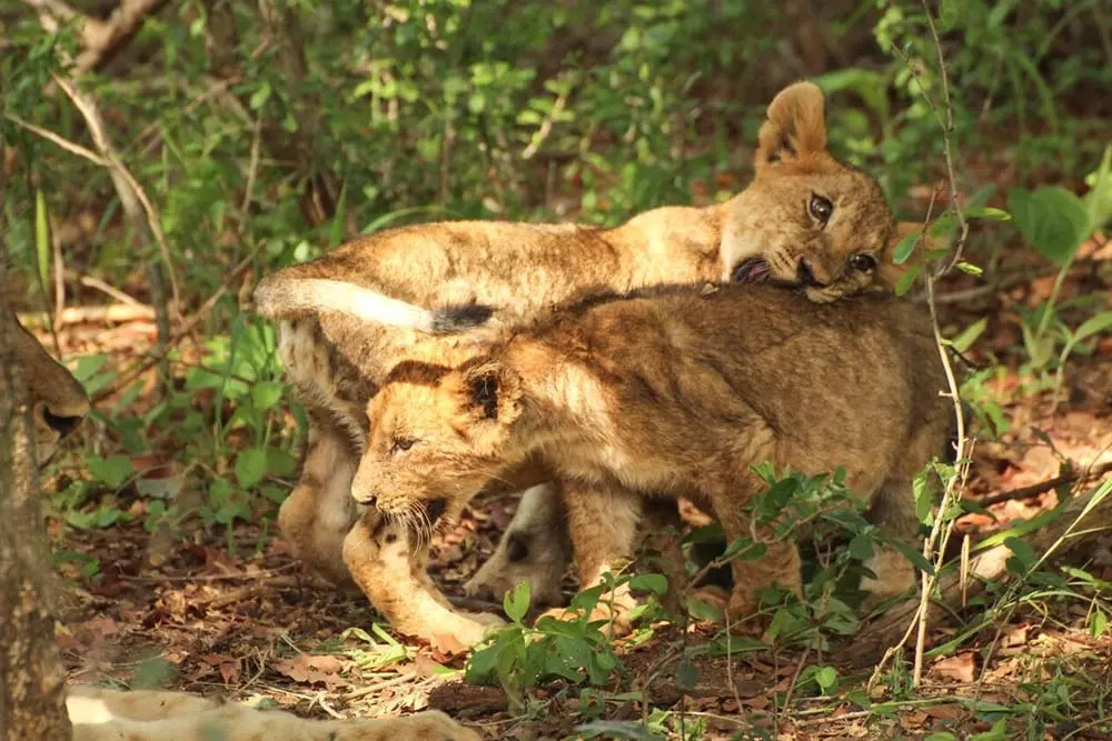 Karongwe EcoTraining Camp Lion Cubs