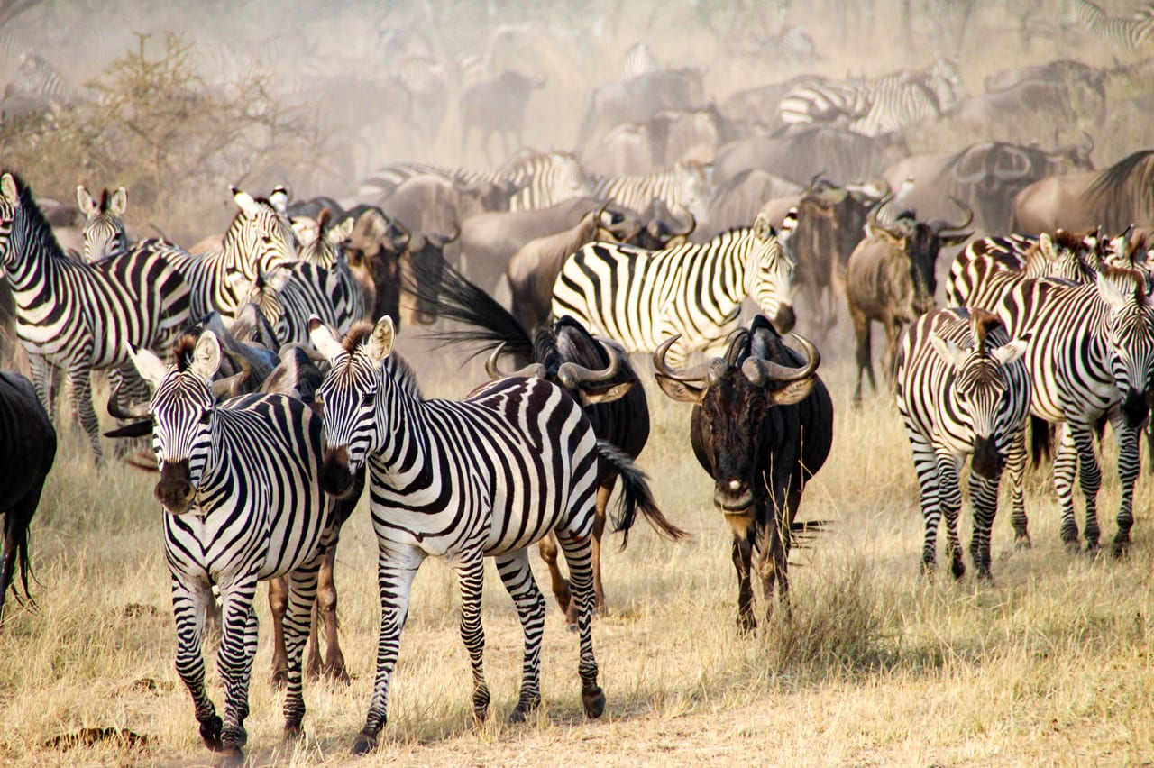 Zebra and wildebeest migration_edited