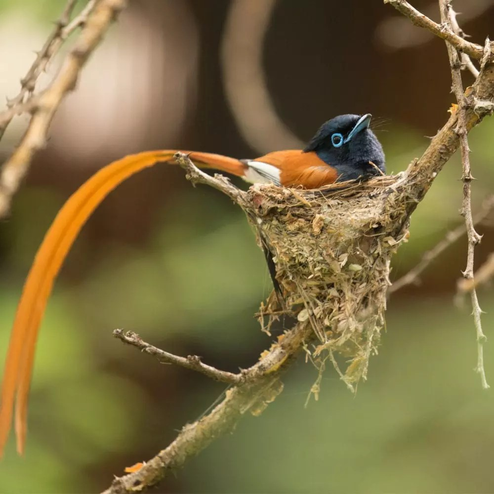 Male Paradise Flycatcher_Andreas Fox blog