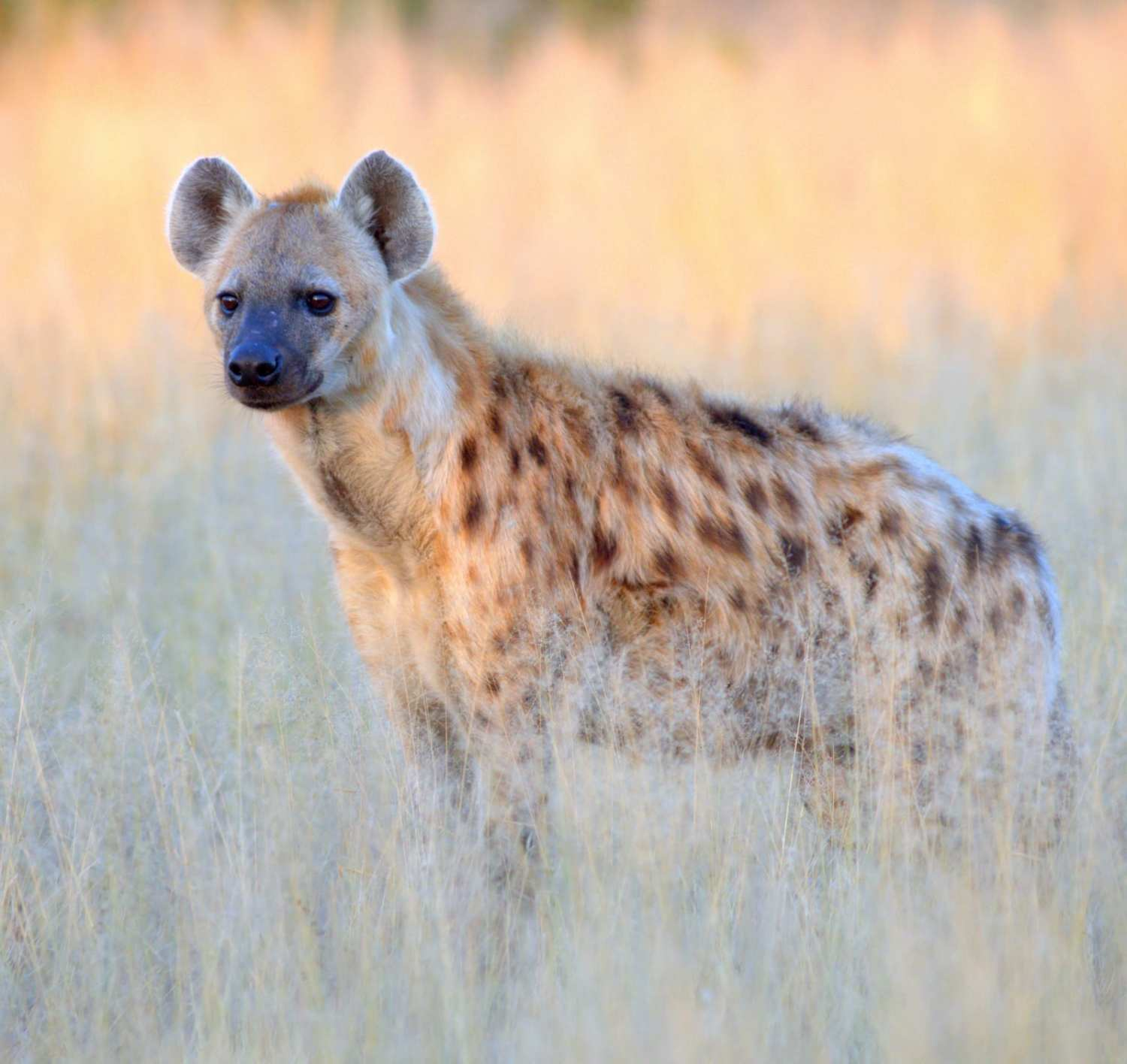 Spotted hyena on the grass
