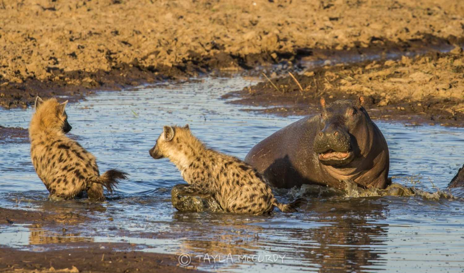 Hippo and hyena in the water