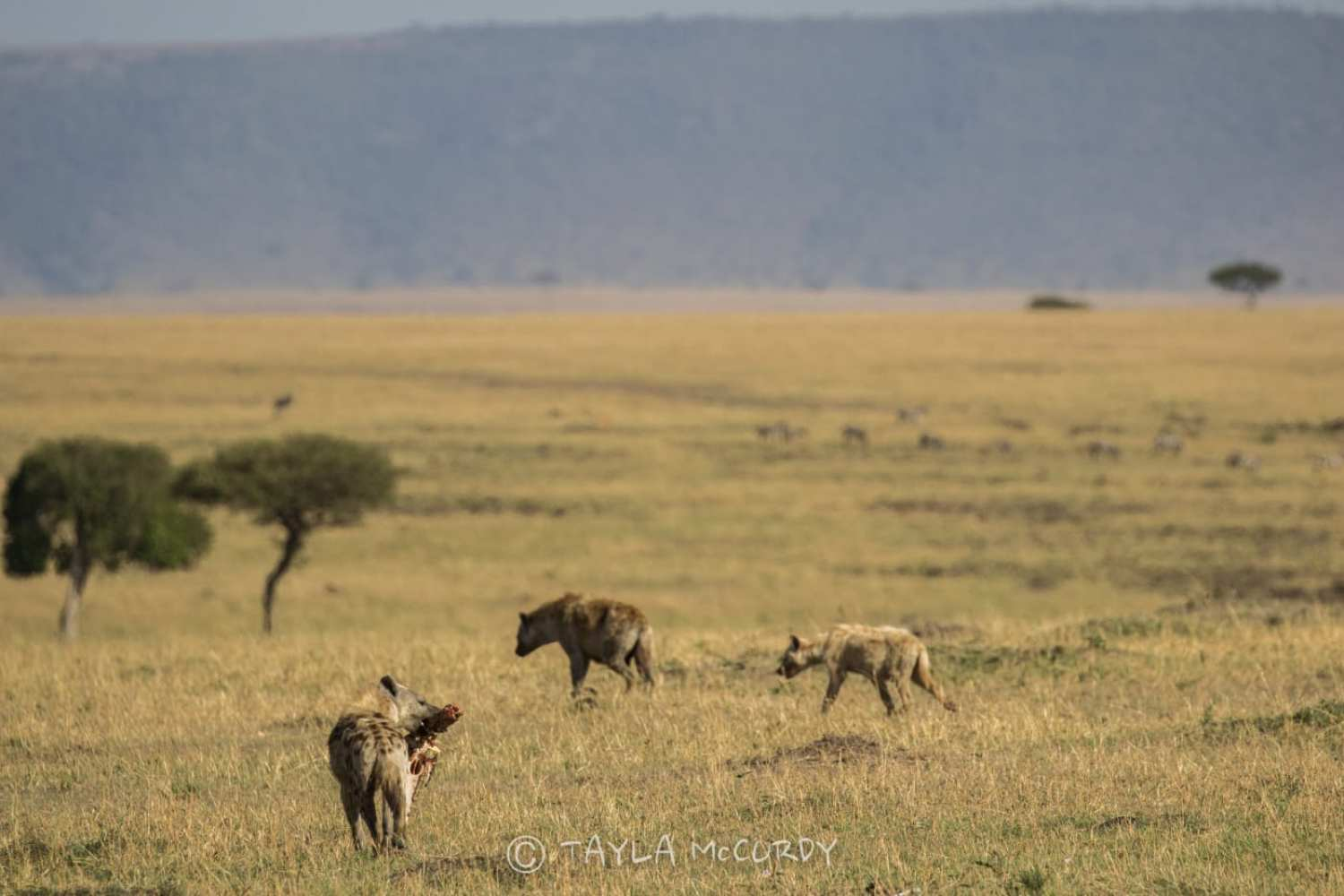 Hyenas in East Africa
