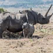 Black rhino and calf