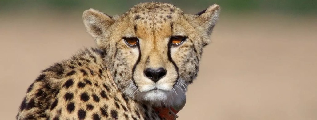 World Cheetah Day 2019