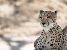 Cheetah Quiz