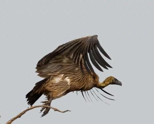 Vulture Quiz