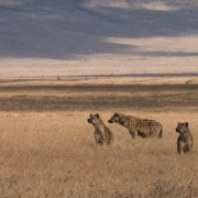 The Spotted Guard of Pridelands Camp - Ecotraining - Hyena