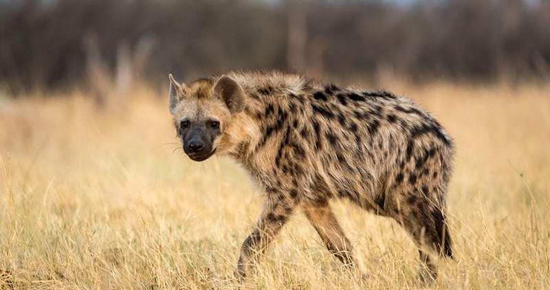 Hyena Puzzle