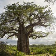 Baobab - Ecotraining - The Botanical Giants of Africa