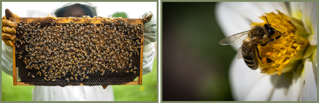 Why Bees are important - Honey Harvesting - Ecotraining