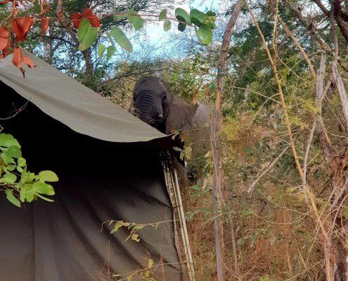 Elephant Close to tent - Ecotraining - Chamomile Tea with Elephants
