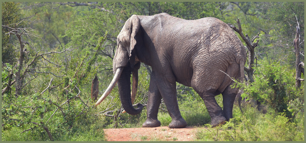 Africa's Big Tuskers - Elephant - cover