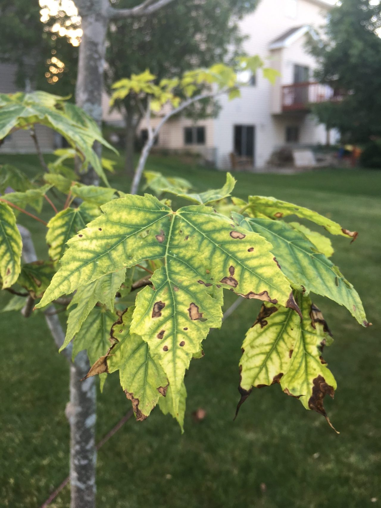 Tree with chlorosis