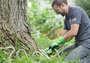 Worker treating a tree for oak wilt disease