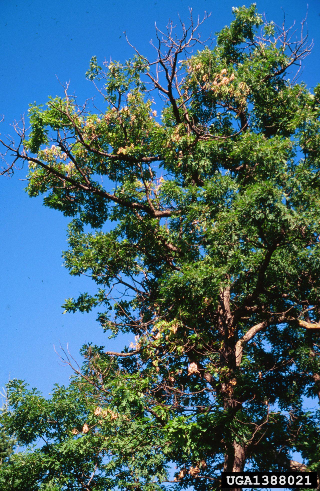 two-lined chestnut borer die back