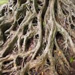 racines_miniature