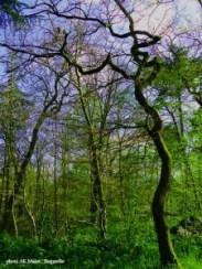 arbre tortueux à Bagatelle