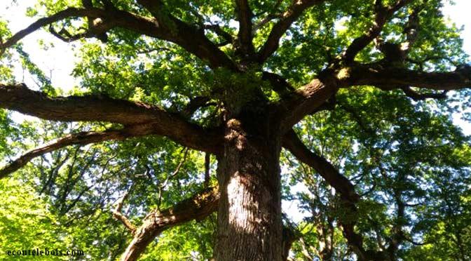 brocéliande chêne des hindres arbre remarquable